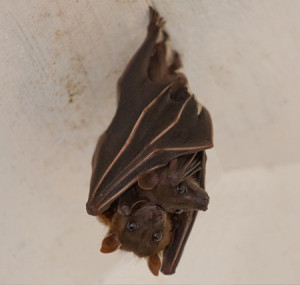 bat removal in louisa