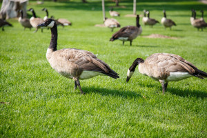Canada Geese Grazing and Looking