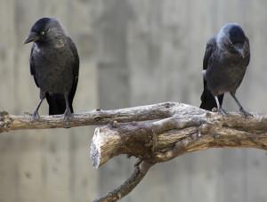 crowsweb