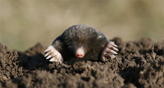 holes in your yard - moles or voles