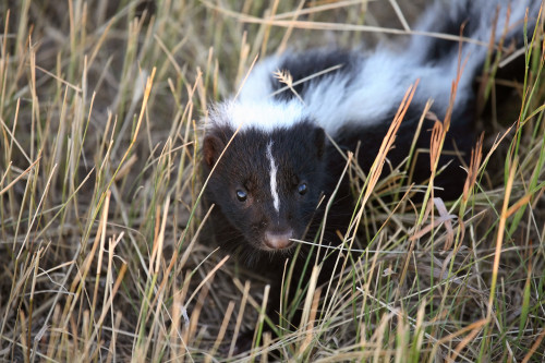 Young skunk